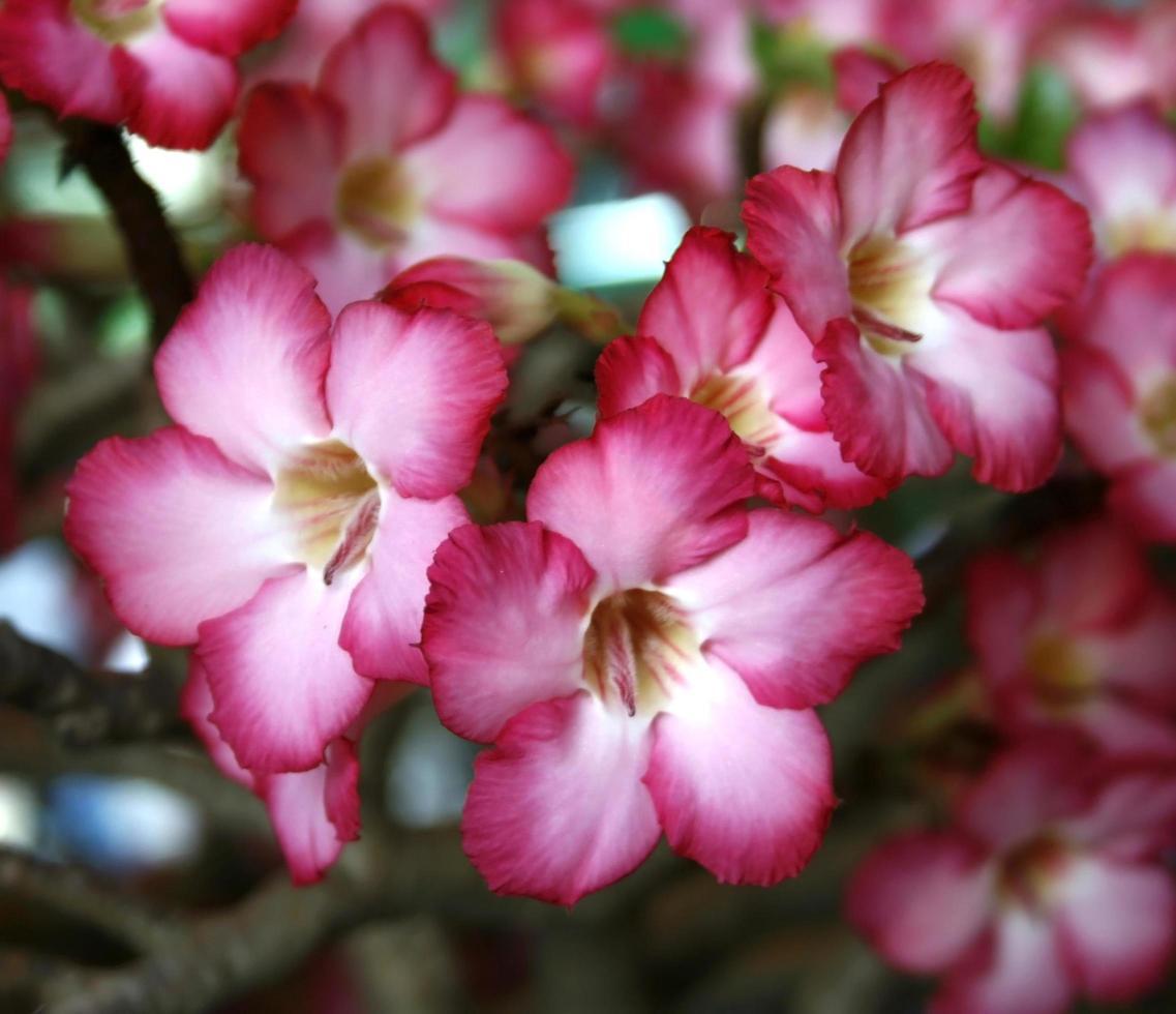 rosa Wüstenrosenblumen foto