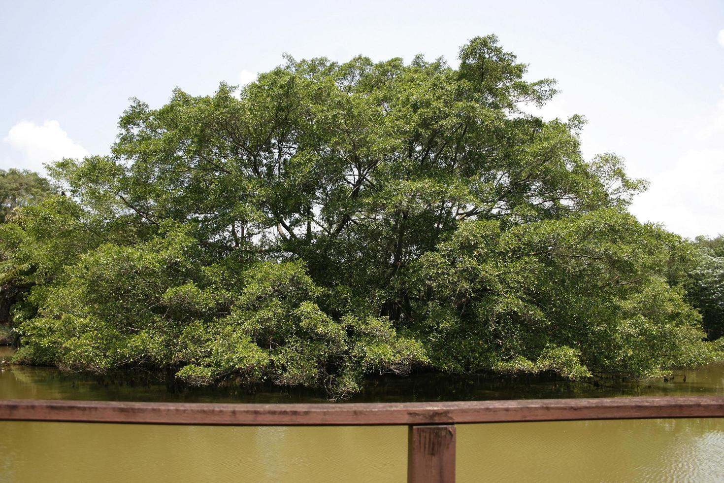 großer Baum an einer Küste des Teiches foto