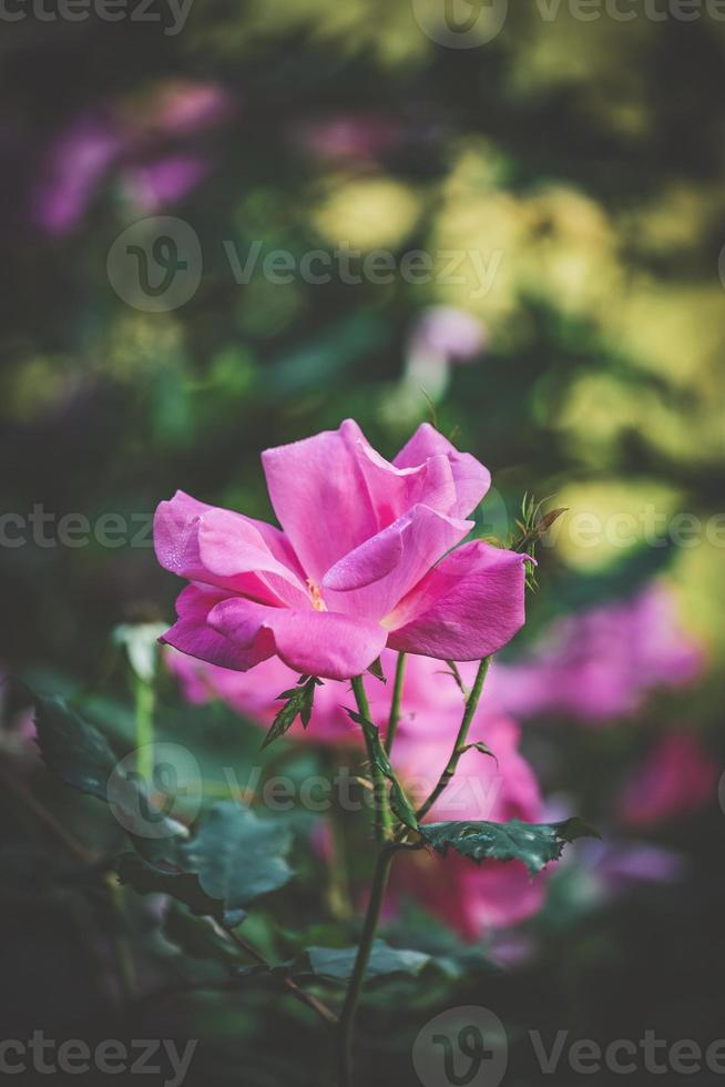 kultivierte rosa Rose foto
