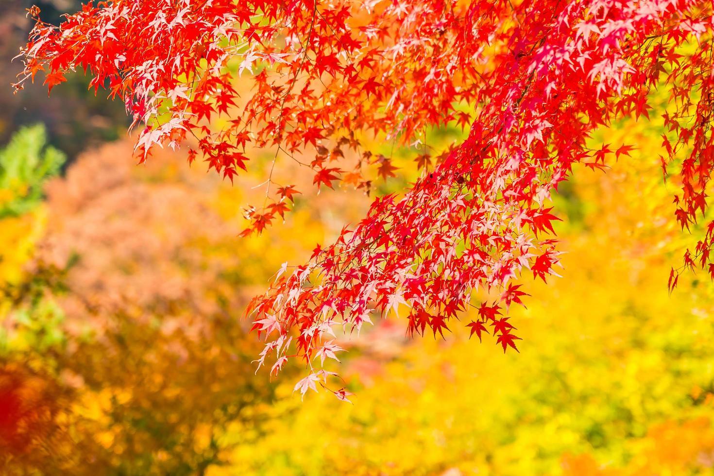 schöne rote Ahornblätter foto