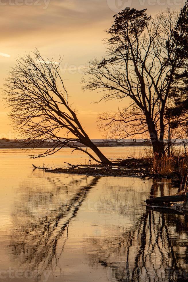 Umgestürzter Baum beugte sich über den Fluss Gauja bei Sonnenuntergang in Lettland foto