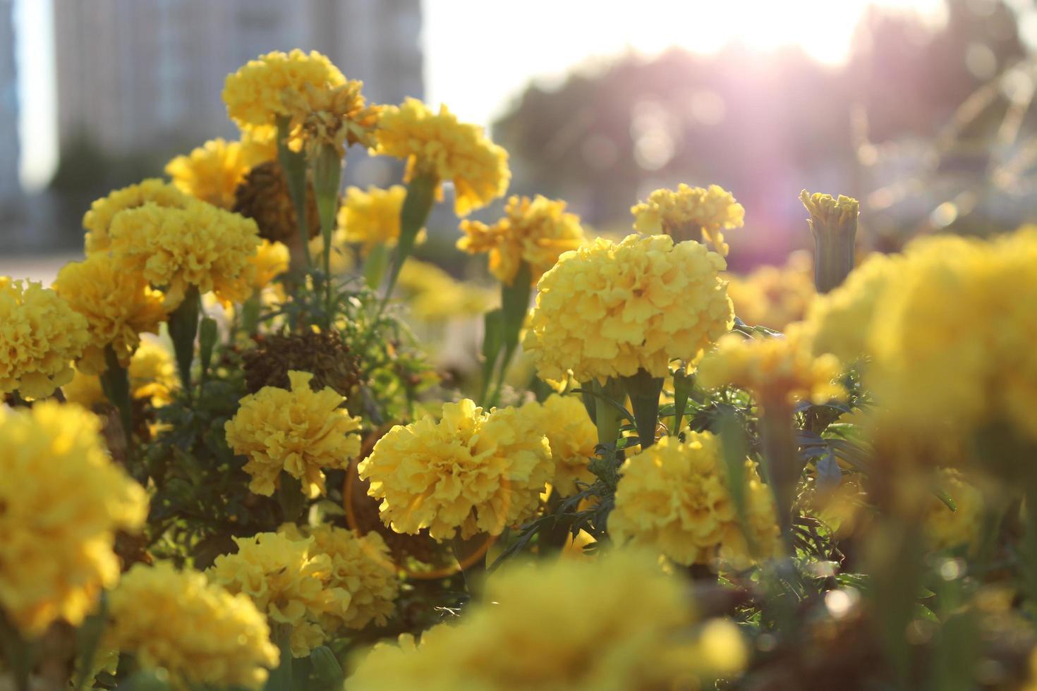 Makro Nahaufnahme von orange und gelben Ringelblumenblüten in voller Blüte im Frühjahr foto