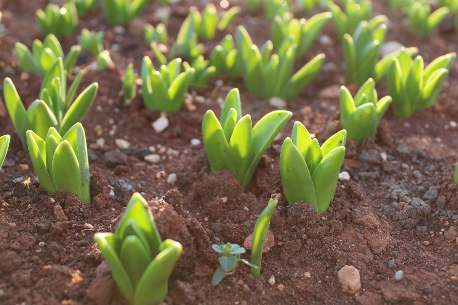Makro Nahaufnahme von grünen Pflanzensprossen und Sämlingen im Boden foto