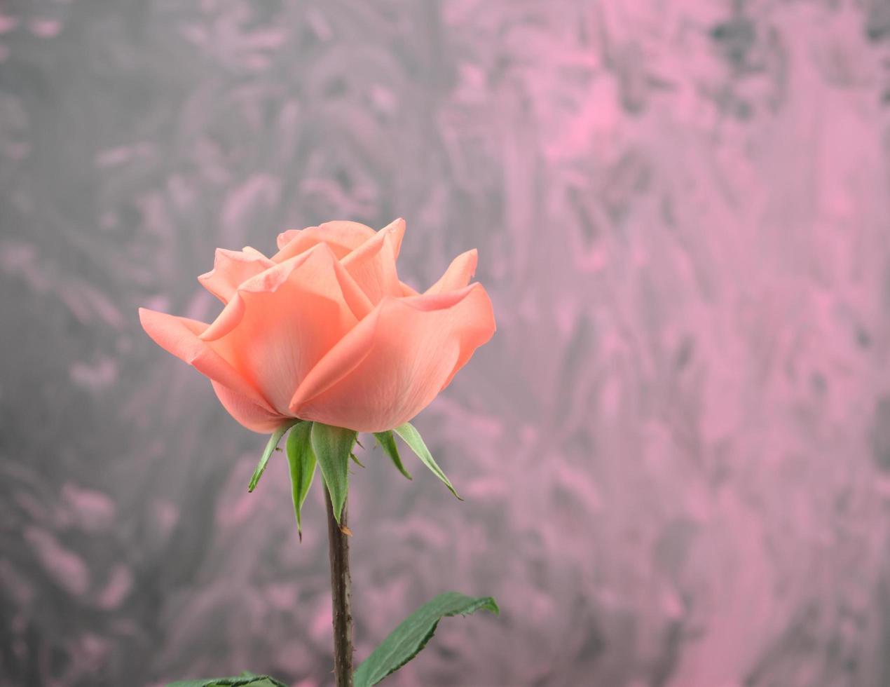 Kopf an, Seitenansicht einer einzelnen blühenden orange und rosa Rose foto