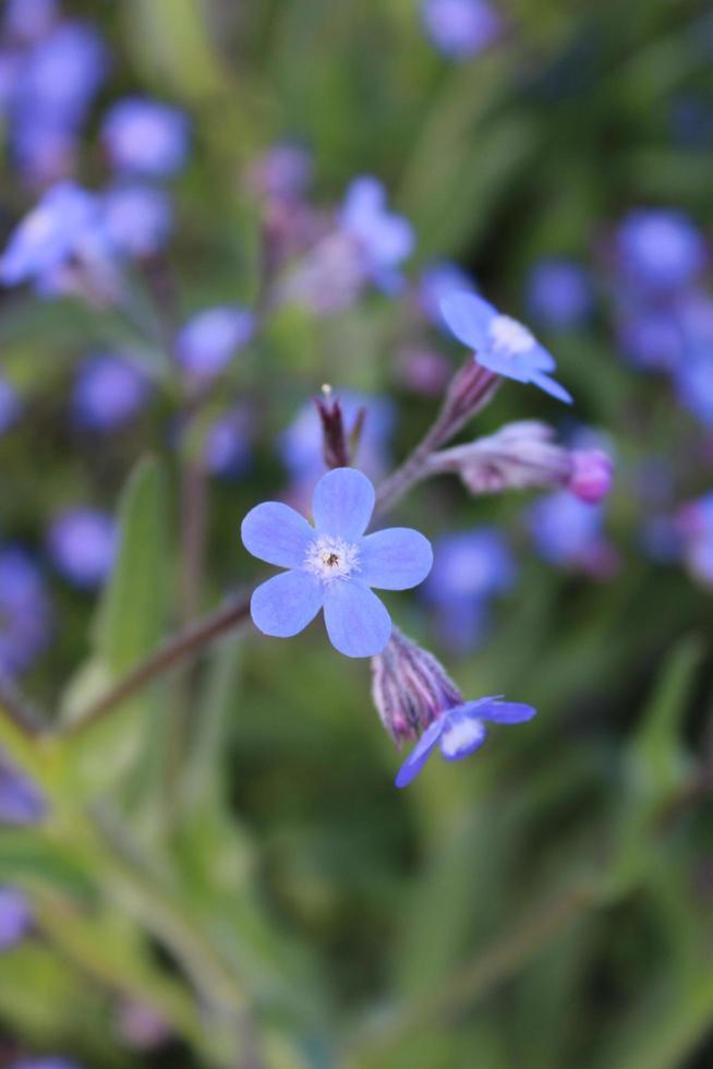 Makro Nahaufnahme eines blauen italienischen Alkanets in voller Blüte während des Frühlings foto