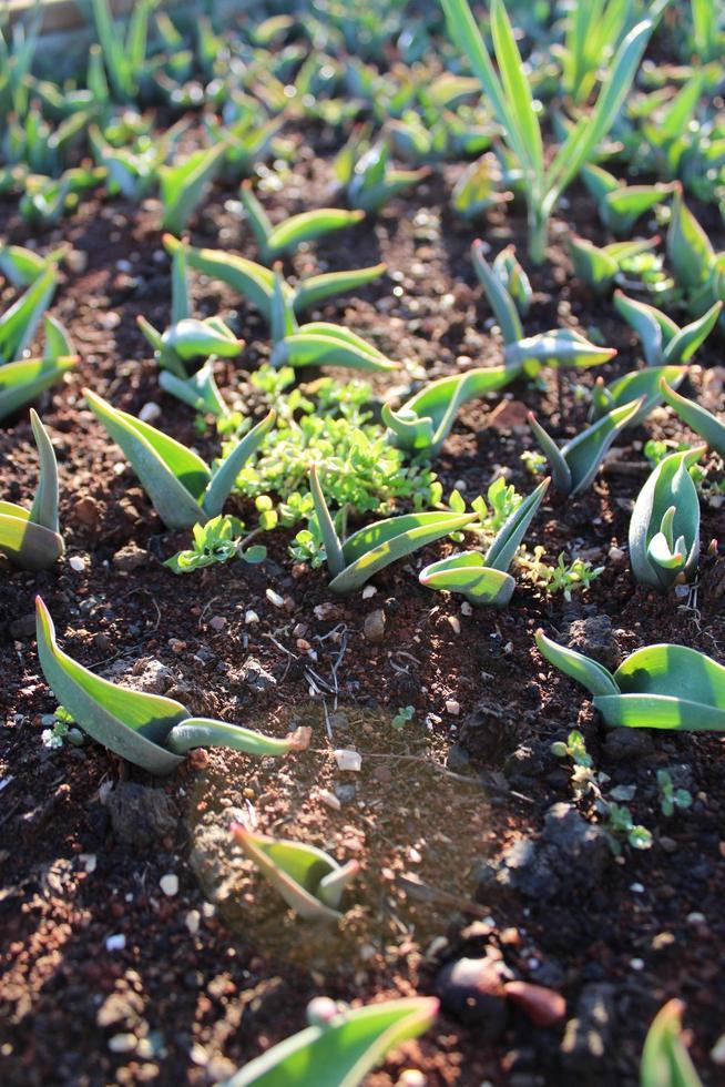 Pflanzensprossen und Jungpflanzen mit Makrodetails foto
