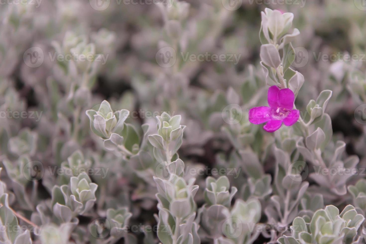 weiße Ebene der rosa Blume foto