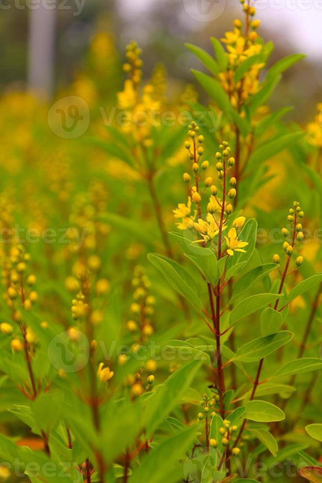 gelbes Blumenfeld im Sommer foto