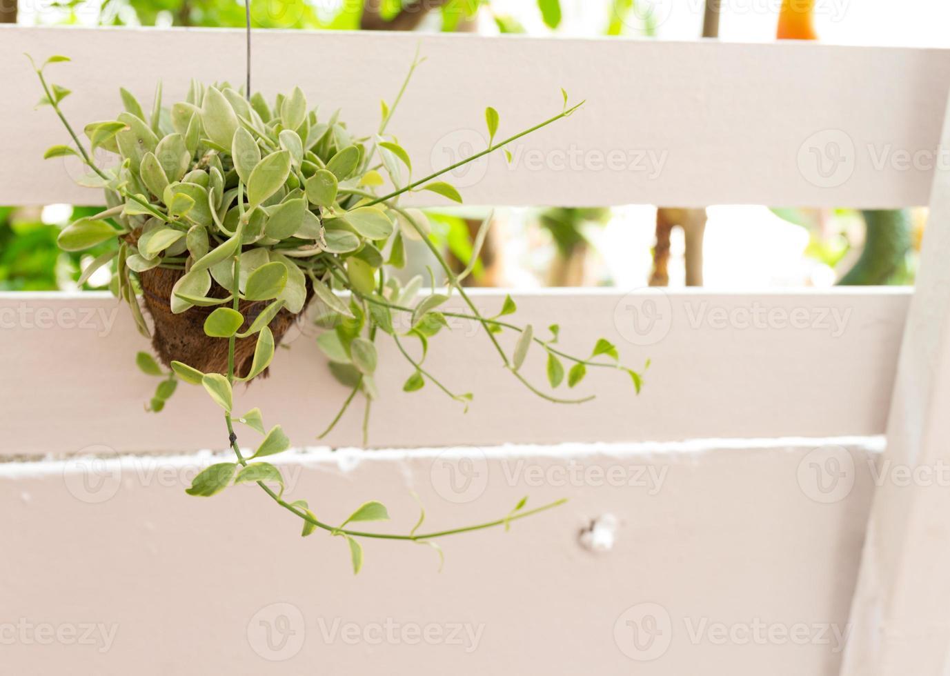 grüne Dischidia nummularia variegata hängen foto