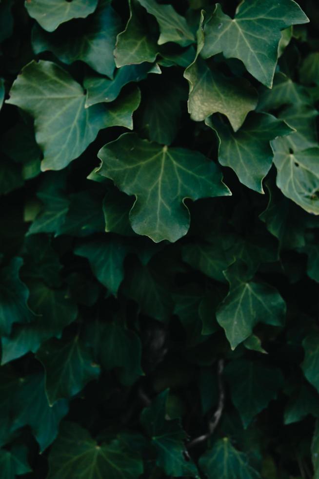 ein Hintergrund von dunkelgrünen Blättern mit Textur und Kopierraum foto