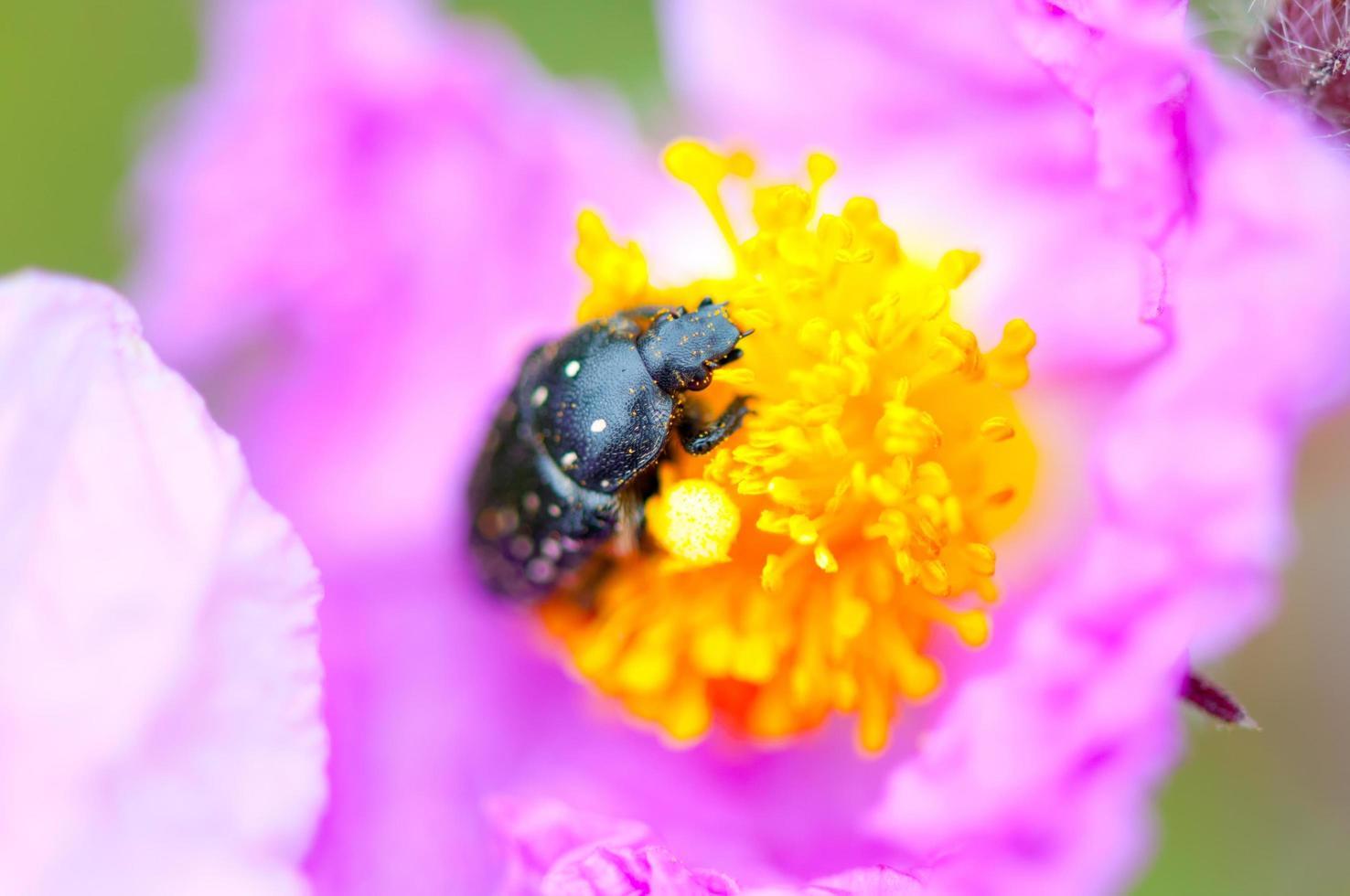 schwarzer Käfer auf einer rosa Blume foto