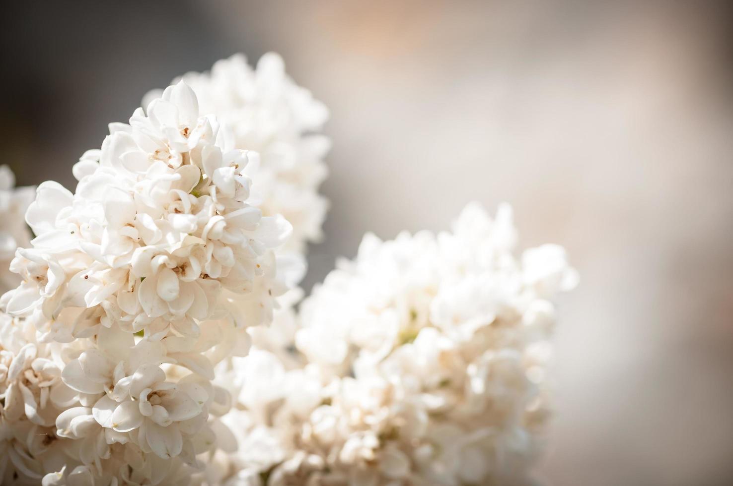 blühende lila Blüten foto