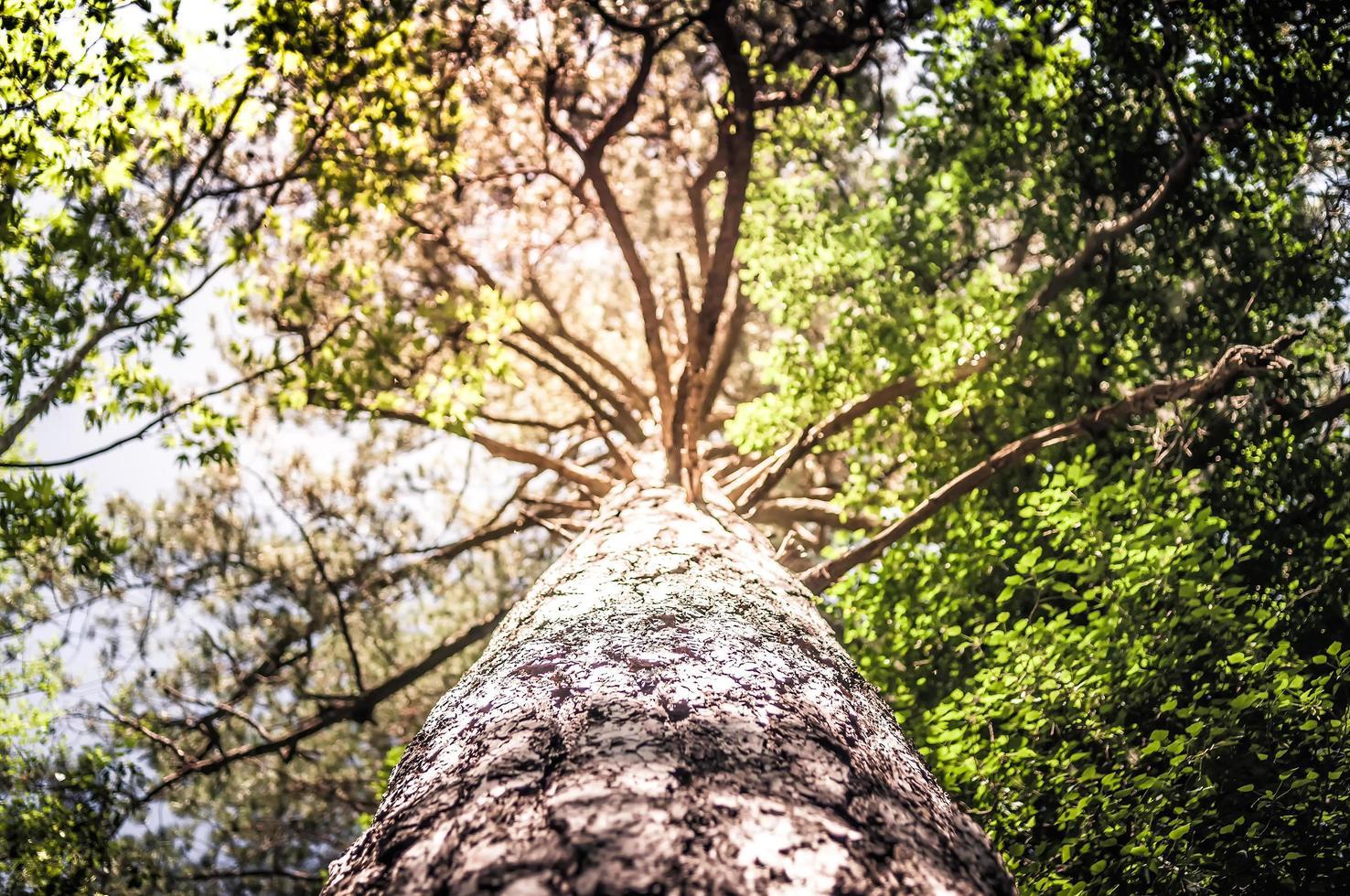 Sonneneruption durch Kiefernwald foto
