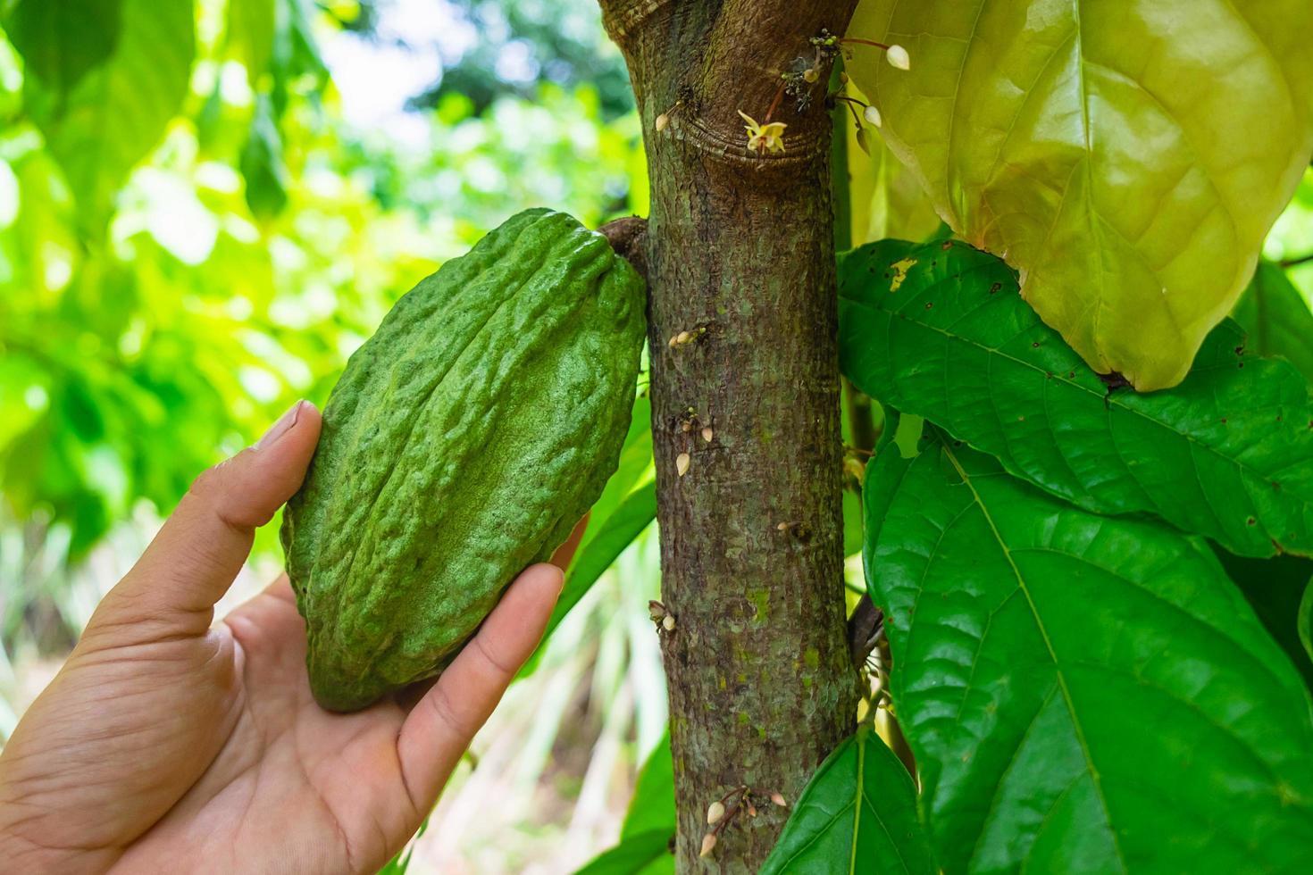 Kakaofrucht auf einem Ast des Baumes foto