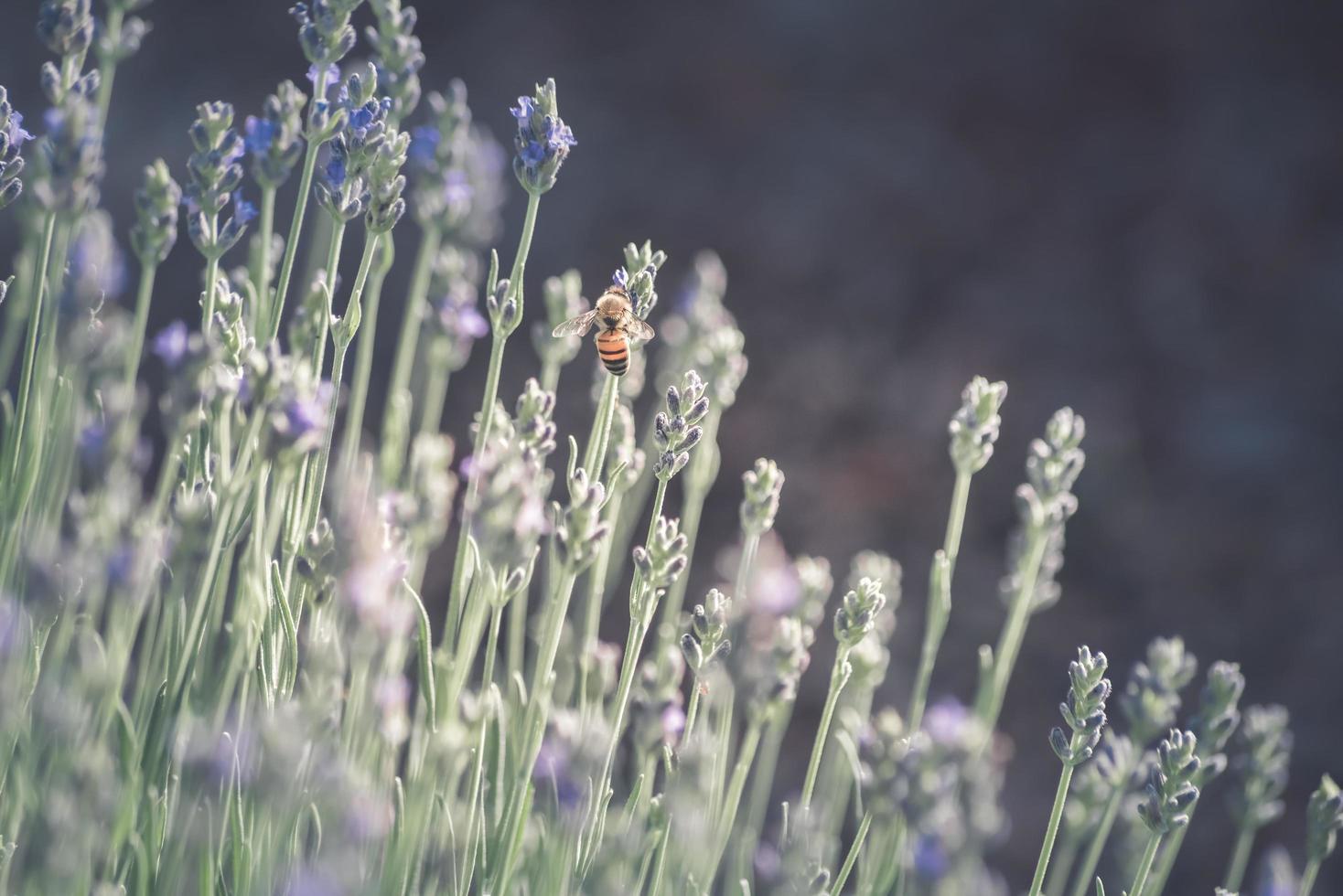 Honigbiene auf Lavendelblüten foto
