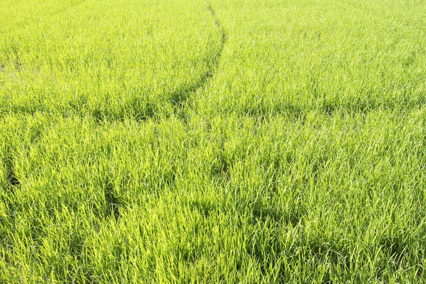 frischer grüner Reisfeldhintergrund foto