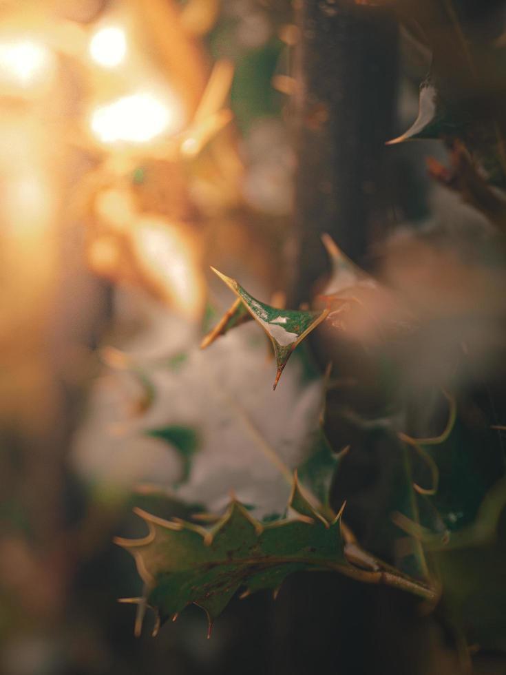 Nahaufnahme von Stechpalmenbüschen foto