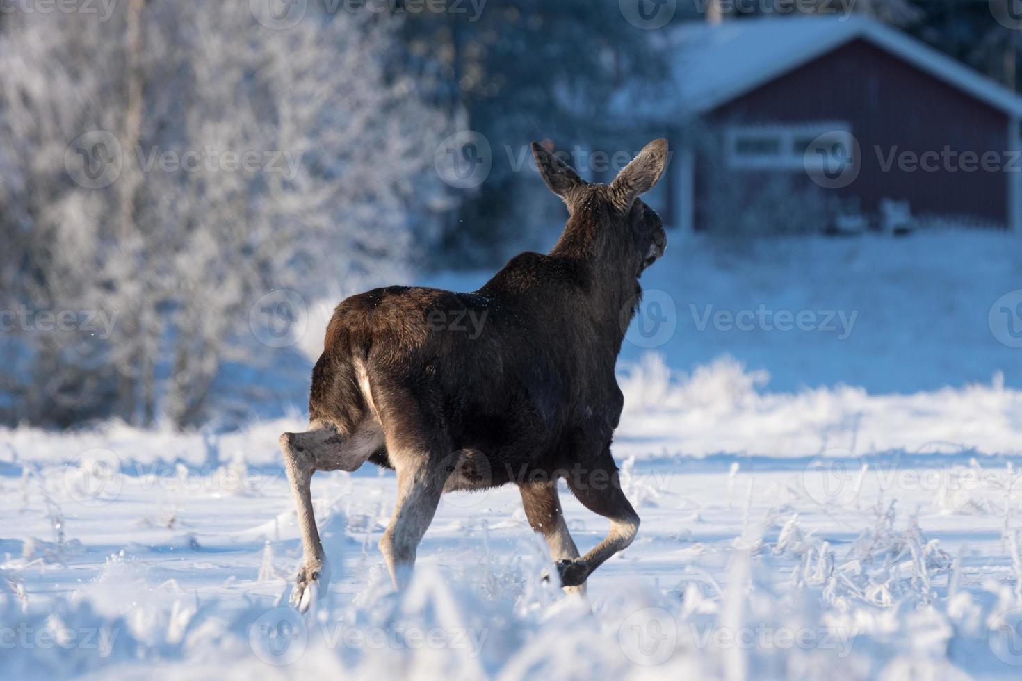 weiblicher Elch, der über ein schneebedecktes Feld abläuft foto