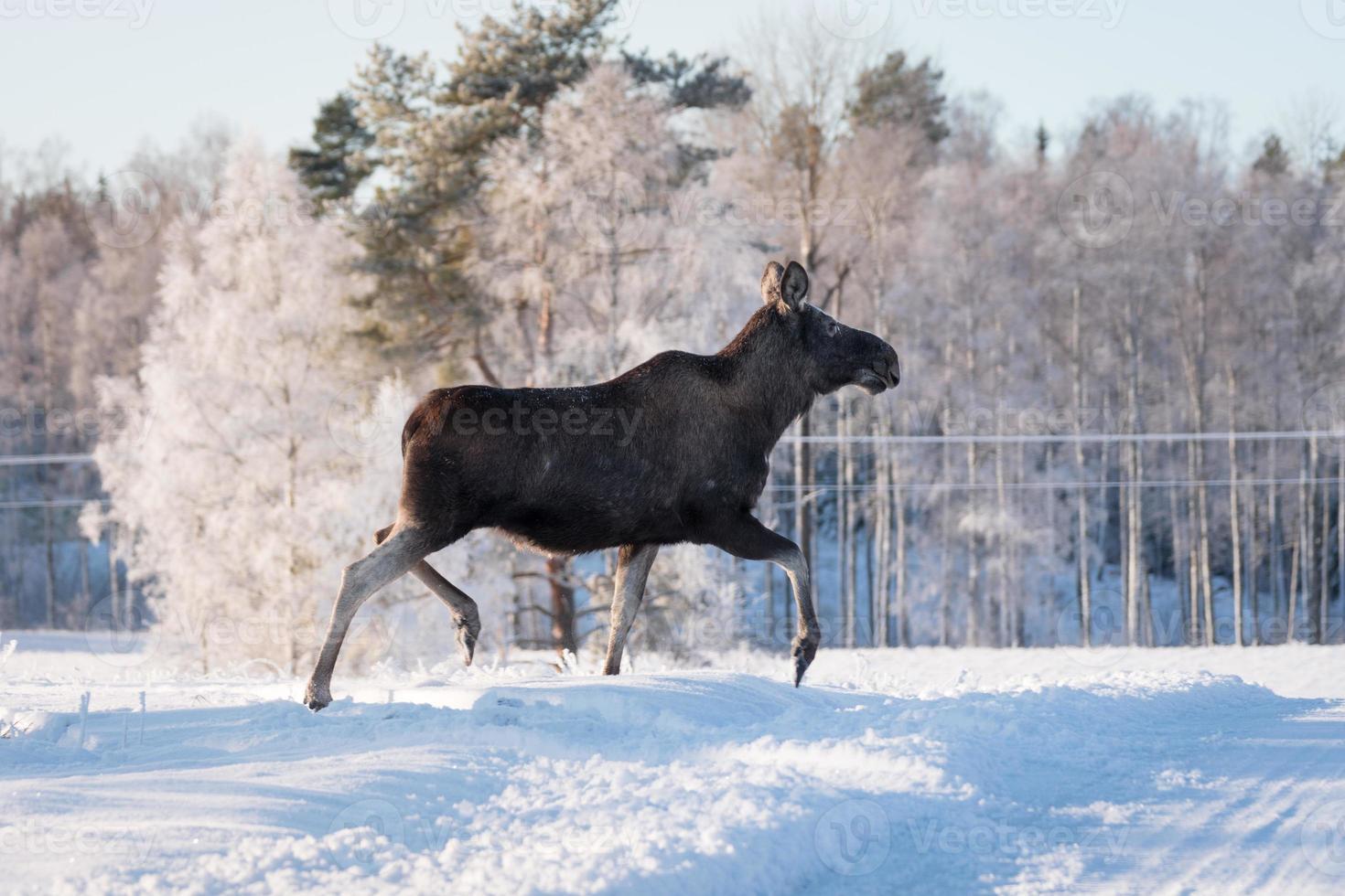 weibliche Elche traben anmutig im Schnee foto
