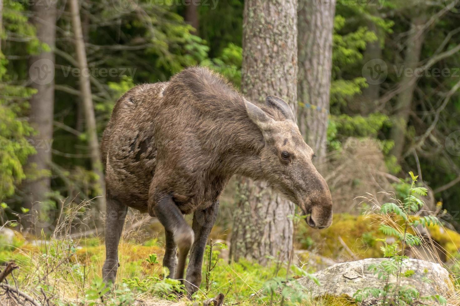 gereizte Elchfrau mit den Ohren zurück foto