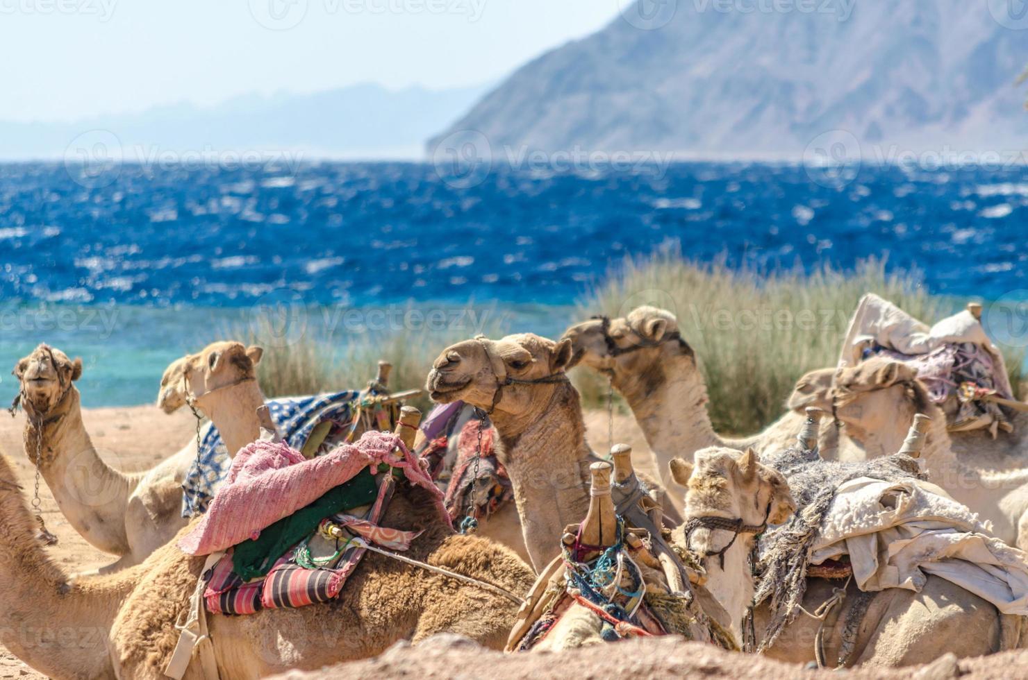 Kamele liegen im Sand foto