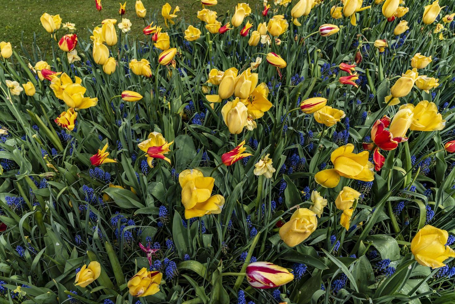 gelbe, rote und blaue Iris in einem Feld foto