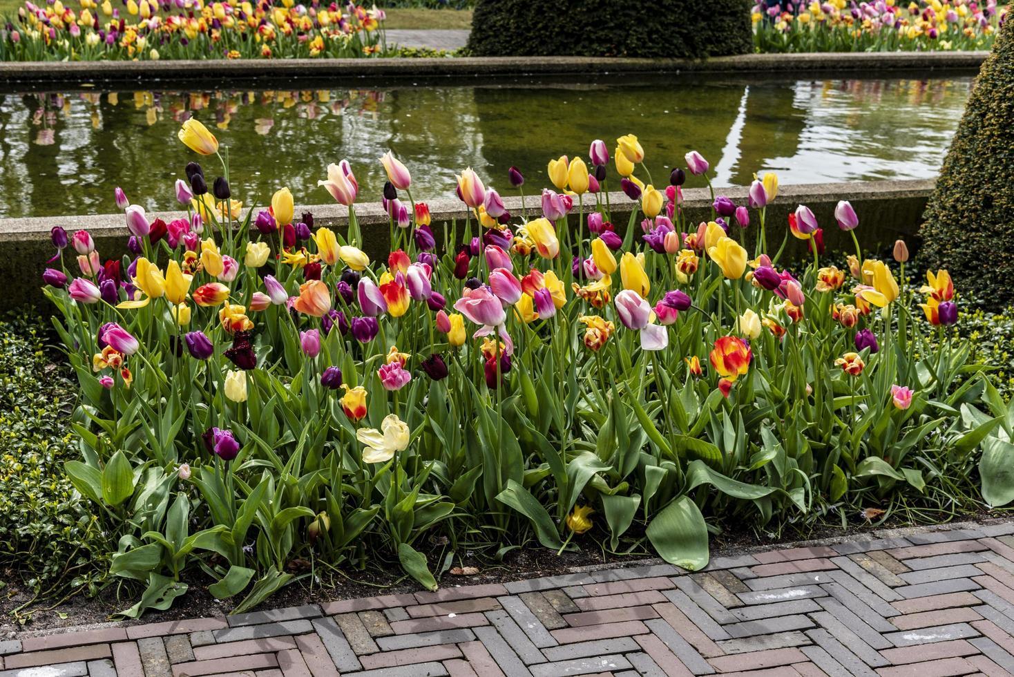 Frühlingstulpen in einem Gartenbett foto