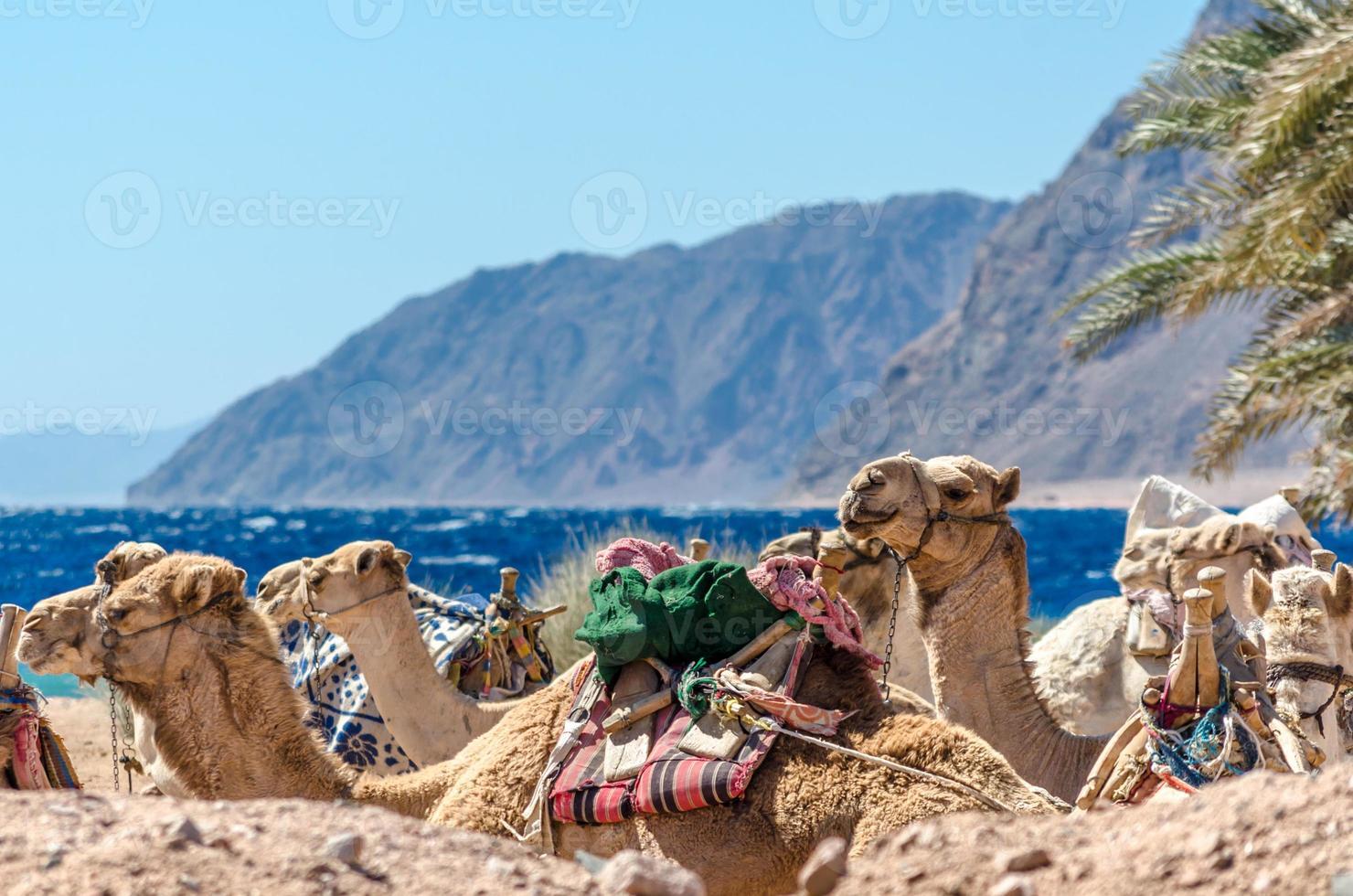 Nahaufnahme einer Gruppe von Kamelen foto