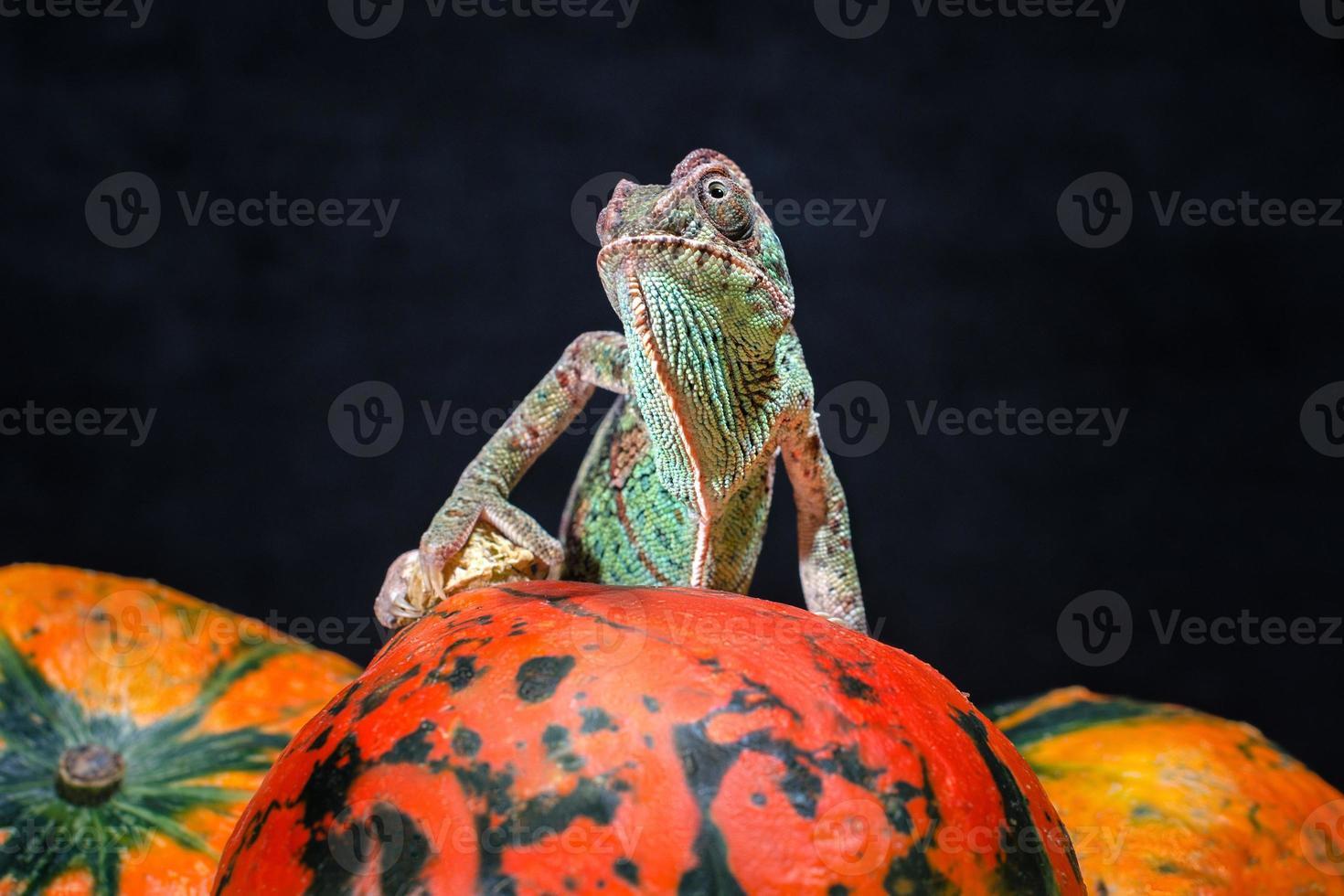 Chamäleon auf einem leuchtend orangefarbenen Kürbis foto