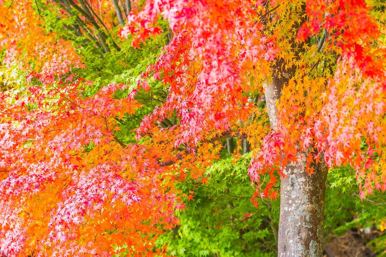 schönes rotes und grünes Ahornblatt auf Baum foto