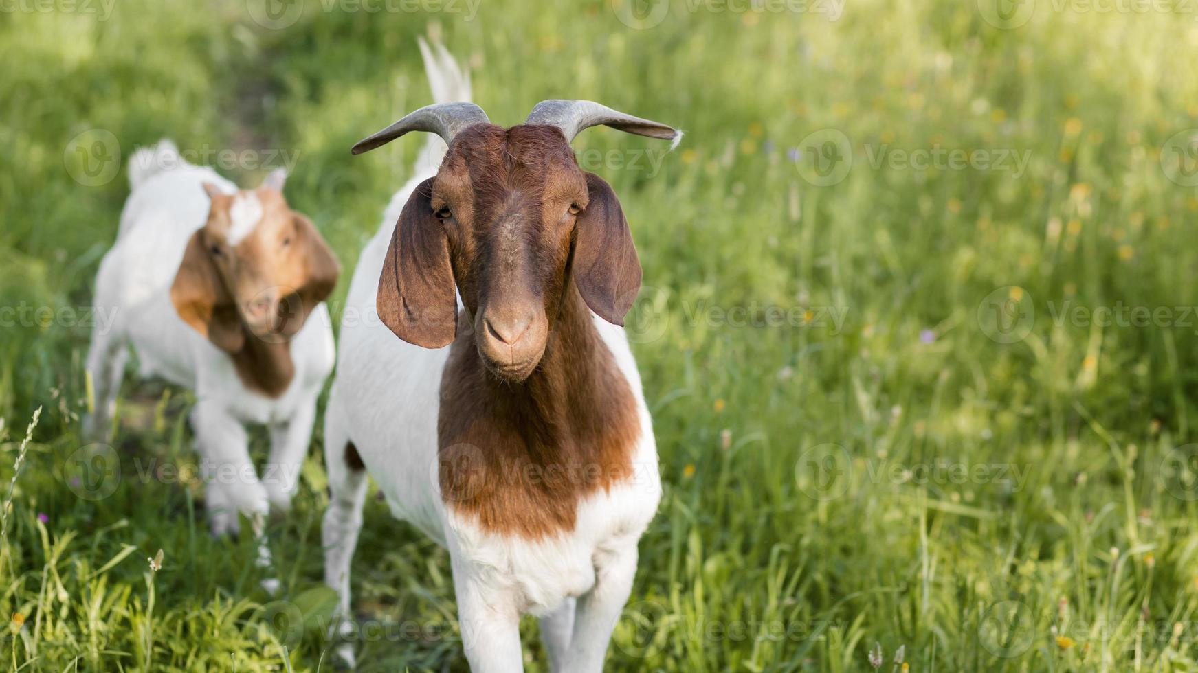 Nahaufnahme Ziegen auf einem Bauernhof foto
