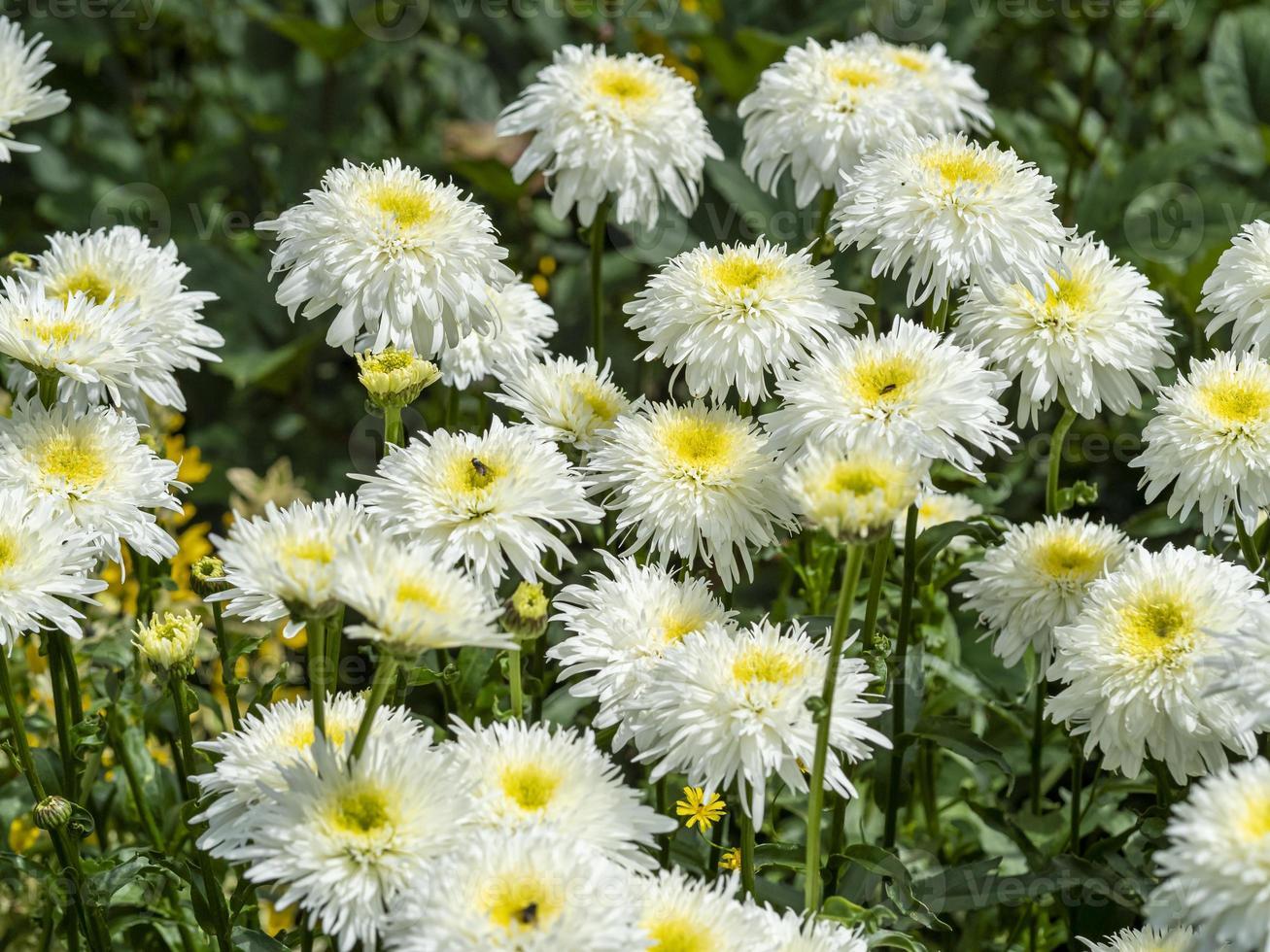 weiße und gelbe Shasta-Gänseblümchen in einem Garten foto