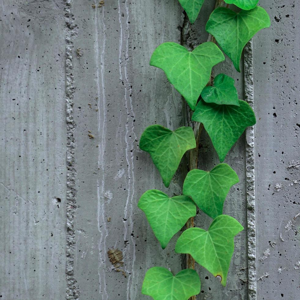 grüne Blätter an der grauen Wand in der Frühlingssaison foto