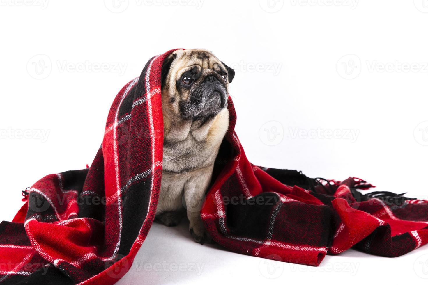 süßer Mops Hund bedeckt mit roter und schwarzer Decke foto
