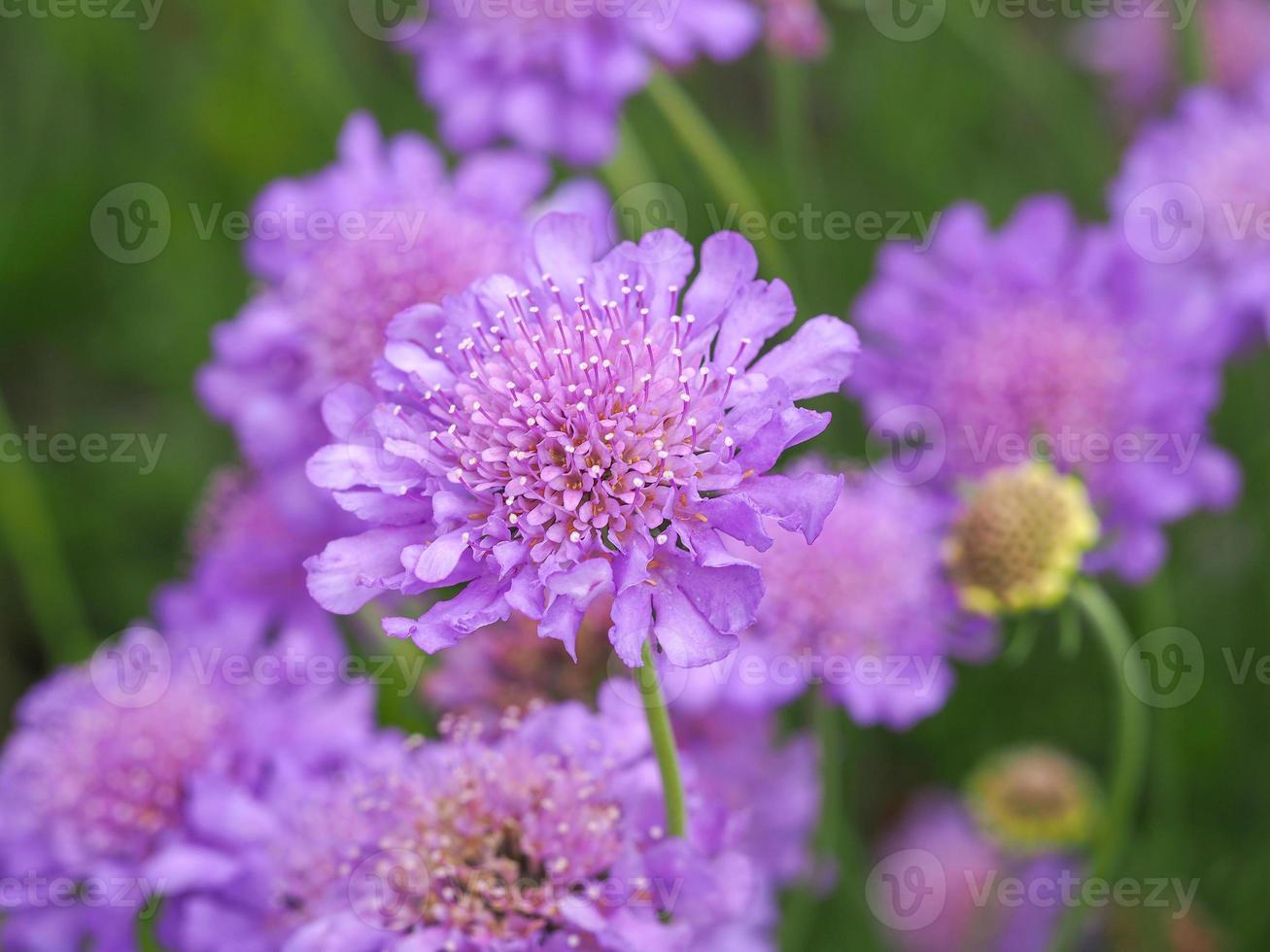 lila schorfige Blumen foto