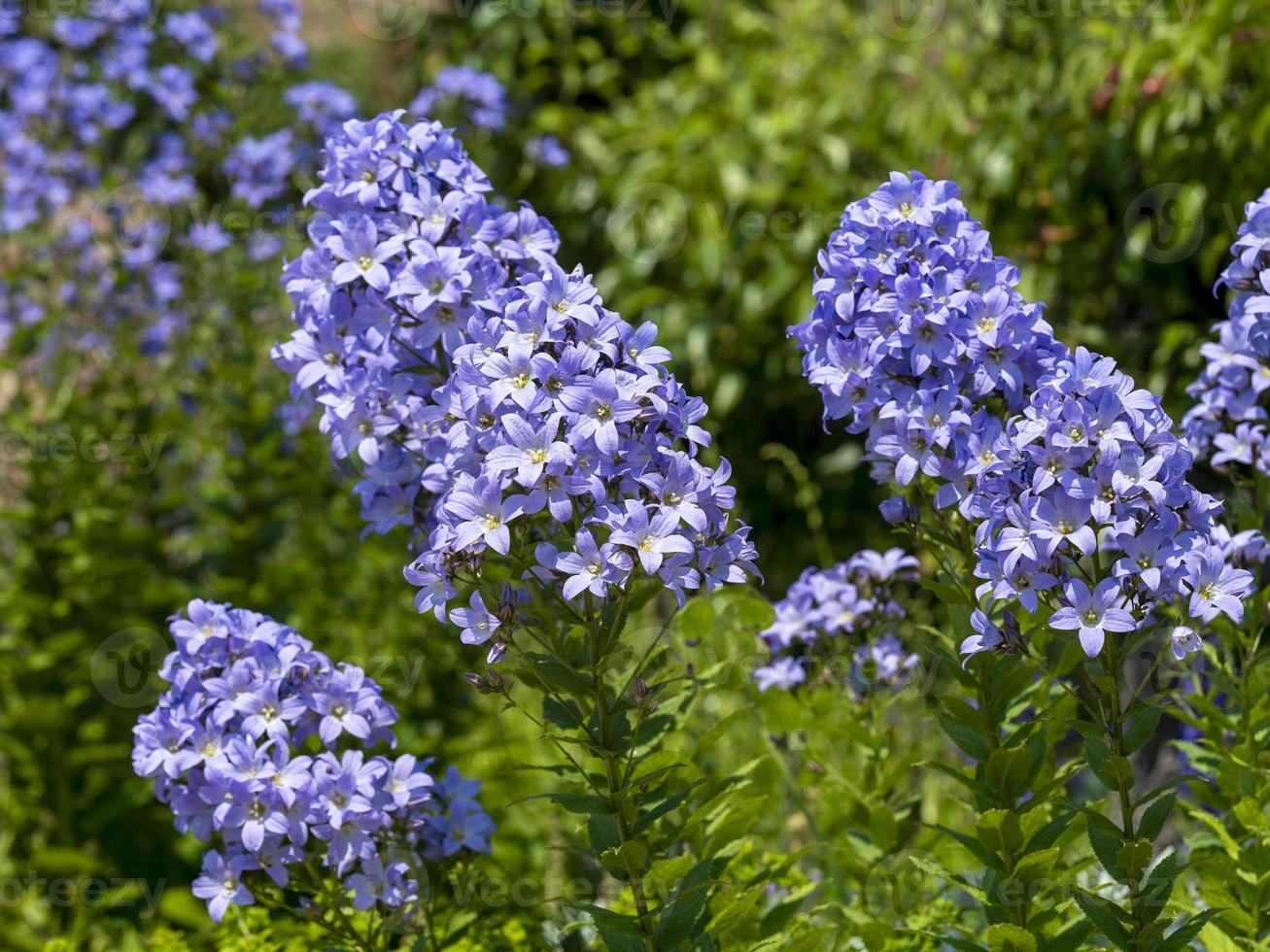 blaue Phlox, die in einem Garten blüht foto