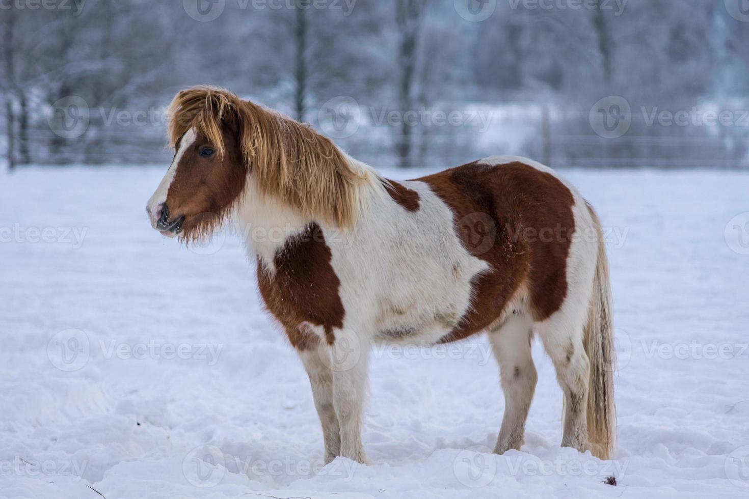 Pinto Islandpferd, das im Schnee steht foto