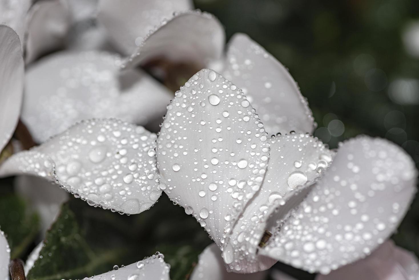 Blumen mit Regentropfen auf dem Blütenblatt im Thema Schwarz und Weiß foto