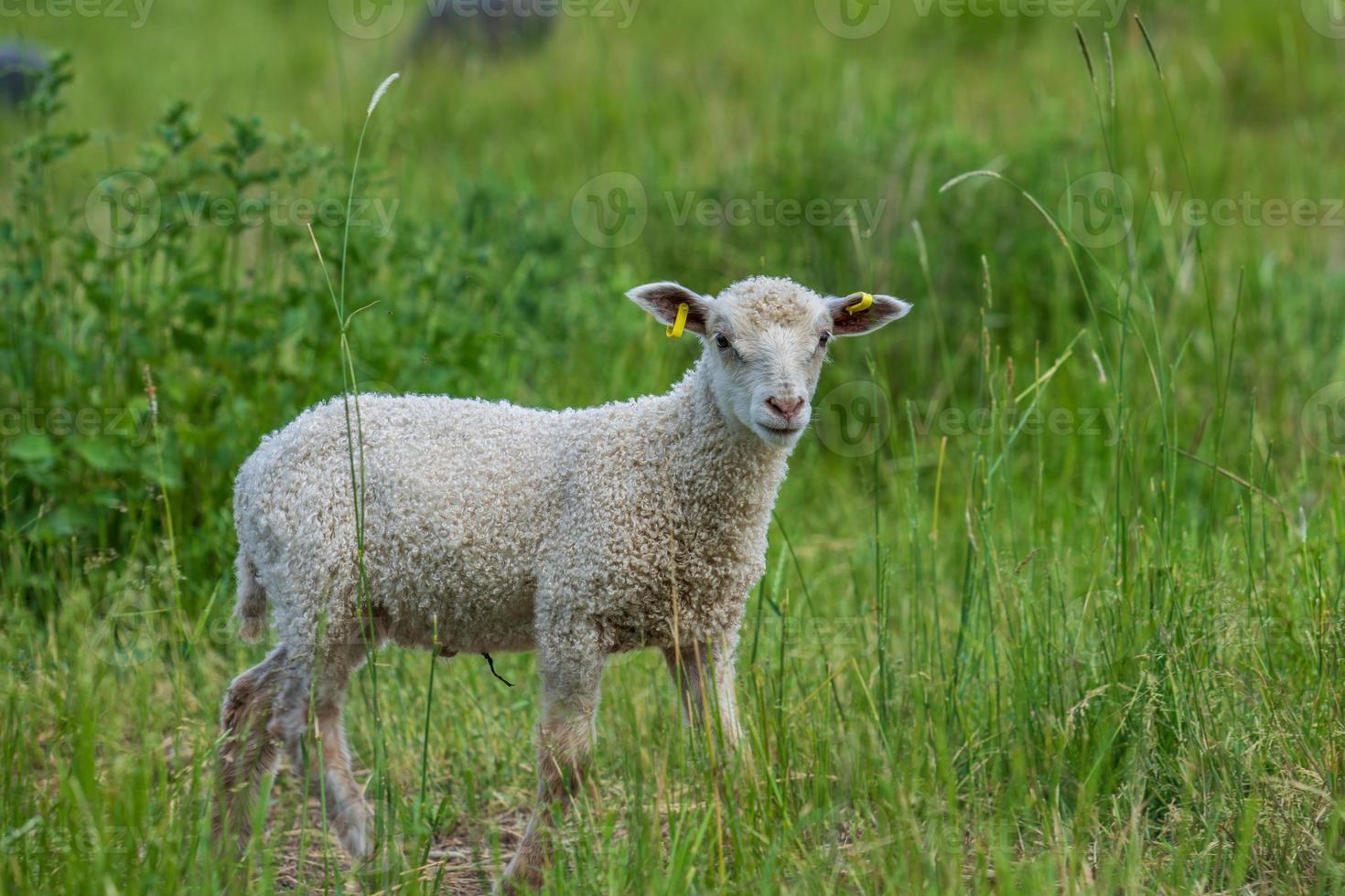 weißes Lamm, das in einer grünen Weide steht und die Kamera betrachtet foto