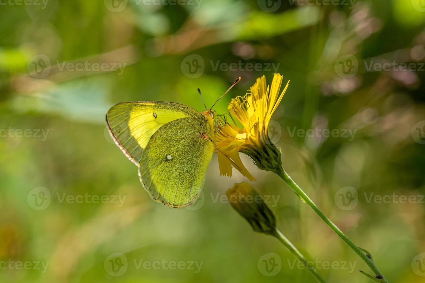 gelber Schmetterling auf einer gelben Blume foto