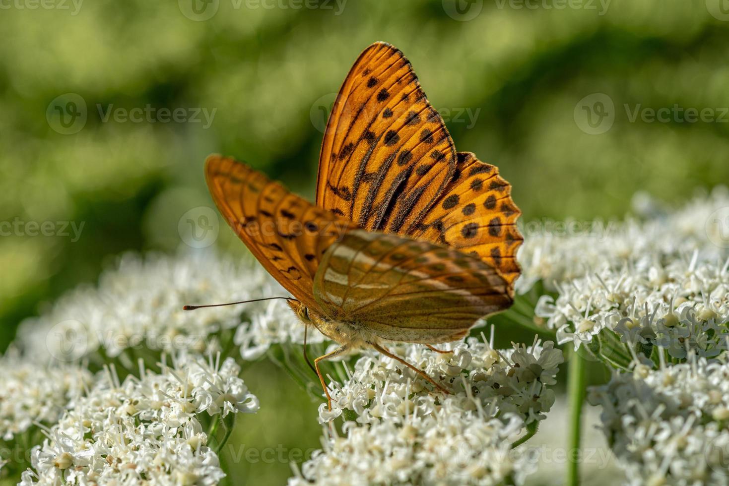 orange gefleckter Schmetterling foto
