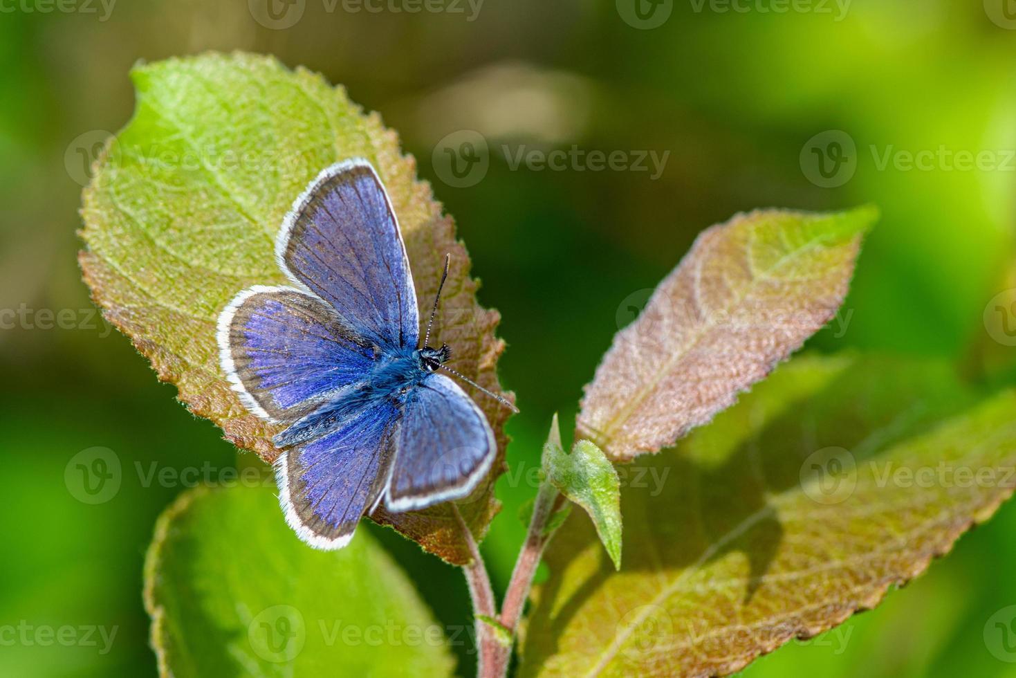 Nahaufnahme eines blauen Flügelschmetterlings auf einem grünen Blatt foto