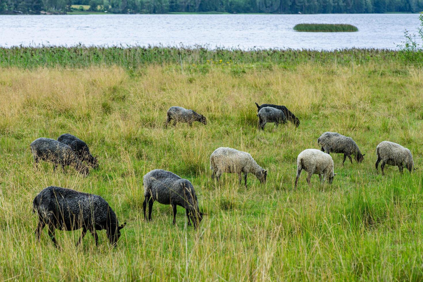 hörte von Schafen, die auf einer grünen Weide weiden ließen foto