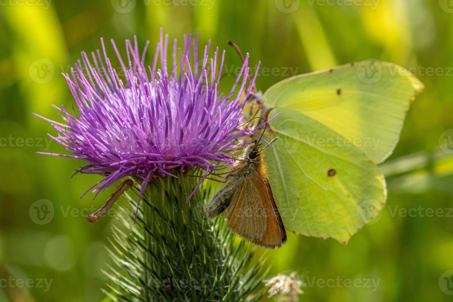 Nahaufnahme von zwei Schmetterlingen, die die gleiche Distelblume teilen foto