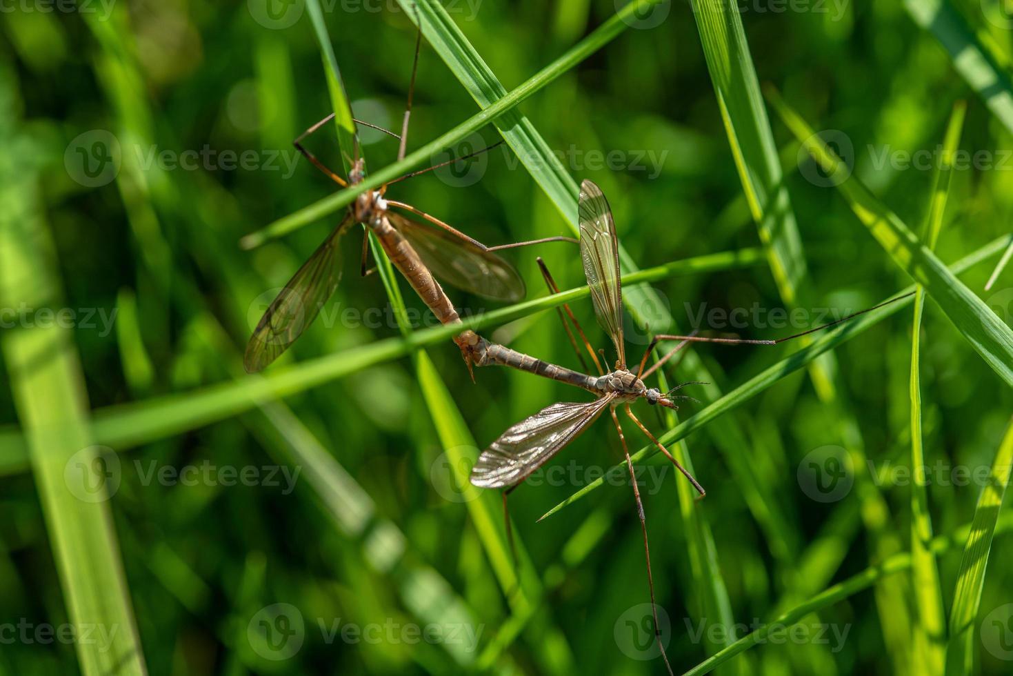 Nahaufnahme von zwei großen Kranfliegen, die sich paaren foto