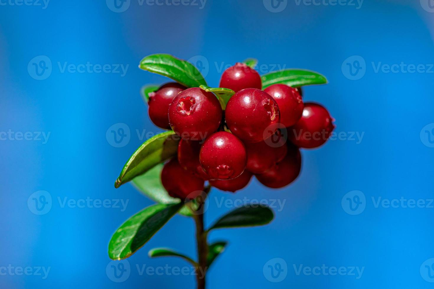 Lingon Beeren wachsen auf Zweig foto