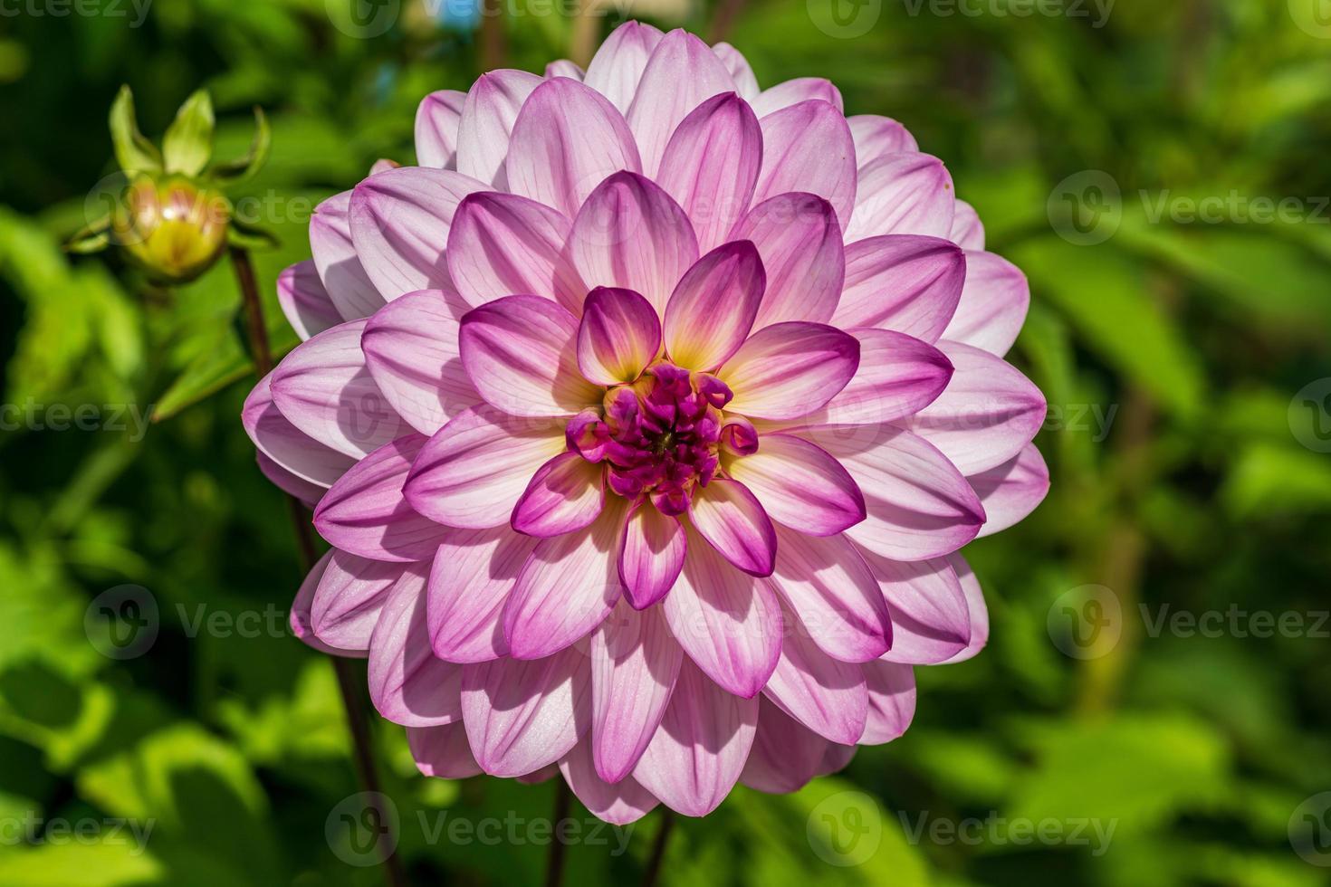 eine einzelne rosa Dahlienblume in hellem Sonnenlicht foto