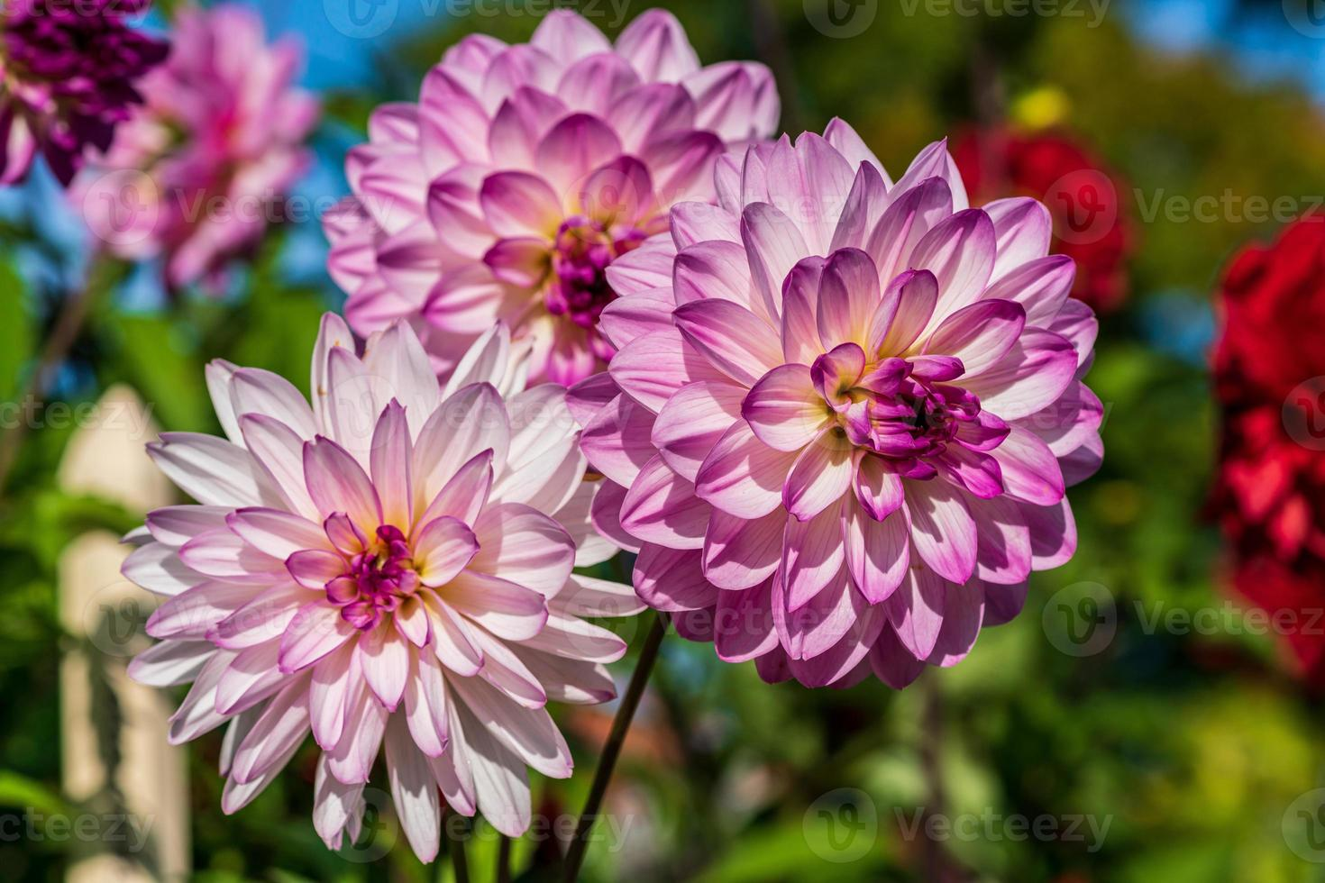 schöne rosa und weiße Dahlienblumen im Sonnenlicht foto