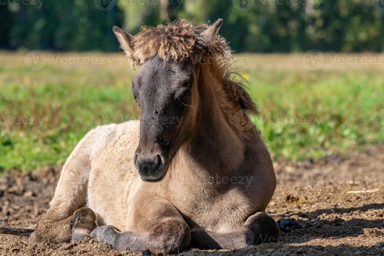 süßes isländisches Pferdefohlen, das im Herbstsonnenlicht liegt foto