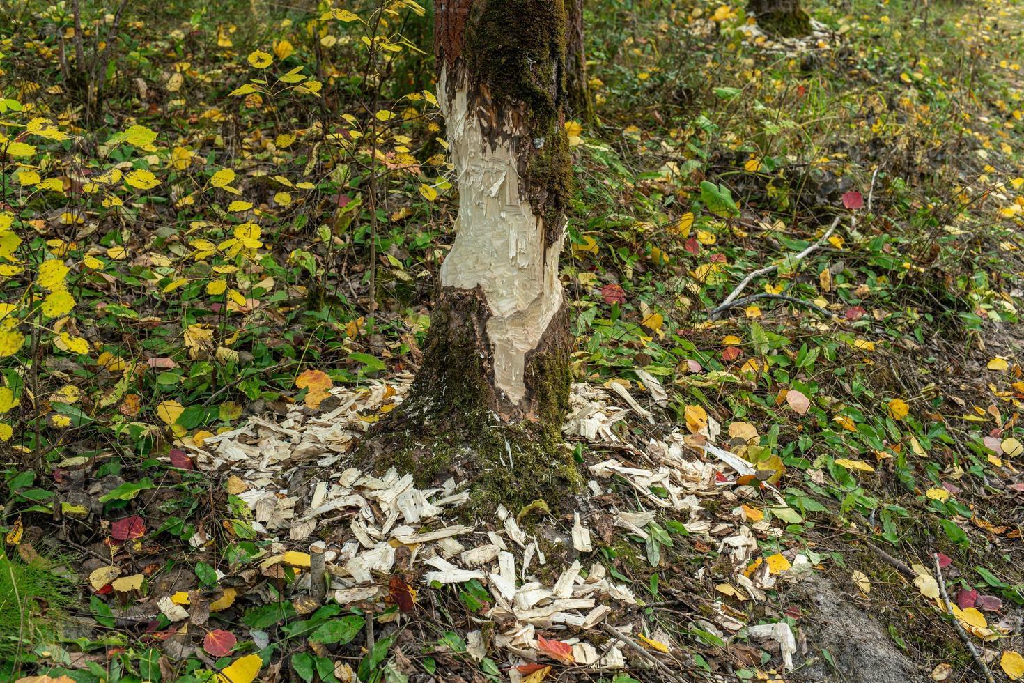 Baum von Bibern beschädigt foto